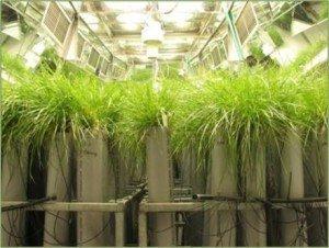 Pastoral Genomics - grass
