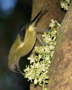 bellbird pollinating flowers