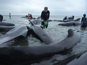 Rescuers help refloat pilot whales stranded in New Zealand. Credit: Project Jonah New Zealand Inc.