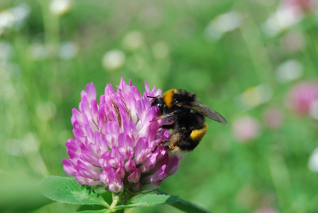 One of the dominant pollinators in red clover (Trifolium pratense) is the buff-tailed bumble bee (Bombus terrestris). [Photo by Maj Rundlöf]