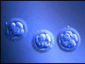 IVF_embryos