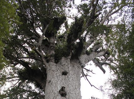 SMC BRIEFING: Kauri dieback – what happens now?