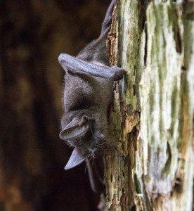 Pekapeka-tou-poto/Lesser short-tailed bat Credit: Flickr/Jake Osborne.