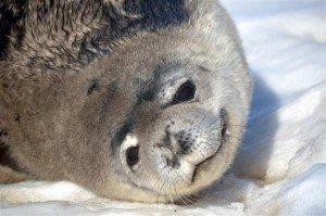 GARROTT_SEALS_CUTIE