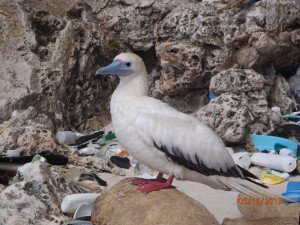 A red-footed booby on Christmas Island, in the Indian Ocean. © CSIRO, Britta Denise Hardesty