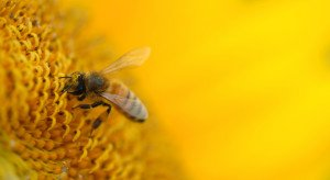 A honey bee works over a large sunflower for pollen.