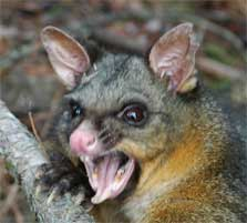 angry-possum-223