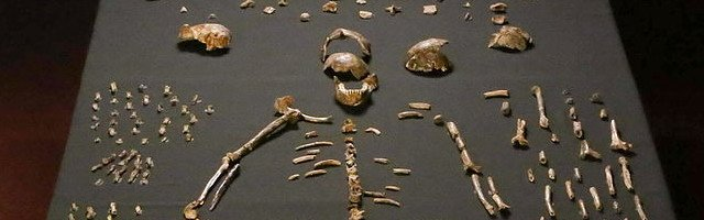Homo_naledi_skeletal_specimens CC Lee Roger Berger