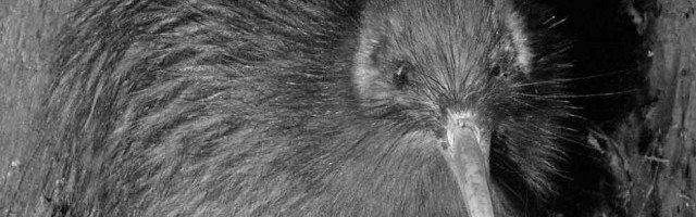 NI brown Kiwi public domain B&W