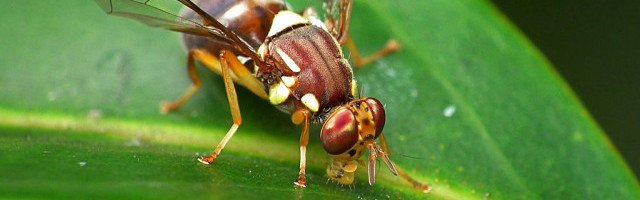 Queensland_Fruit_Fly_Flickr - James Niland