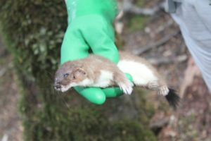 Dead_stoat,_trapped_in_Fiordland_National_Park