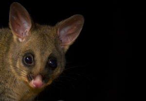 Possum Headshot at Night