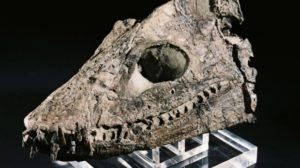 Elasmosaurus skull discovered by Joan Wiffen.