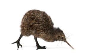 North Island Brown Kiwi, Apteryx mantelli.