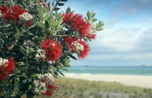 Pohutukawa tree red flowers on sandy beach