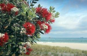Pohutukawa tree red flowers on sandy beach