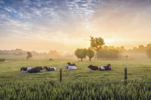 Sleeping cows at sunrise