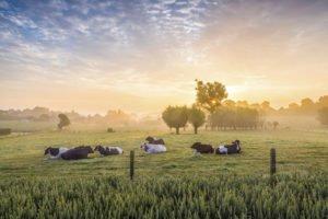 Sleeping cows at sunrise