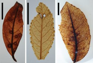 Leaf fossils from the research supplied by Jennifer Bannister.