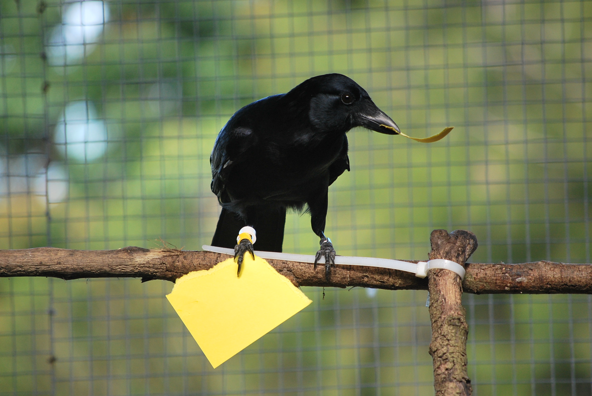 Clever crows make tools from memory – In the News