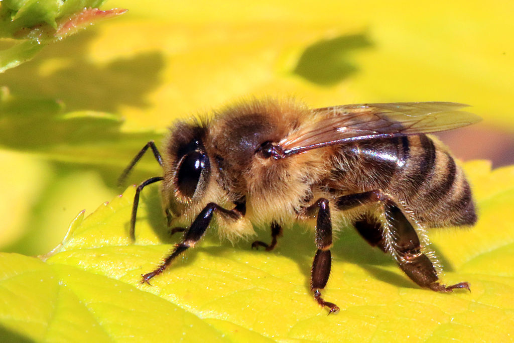 Glyphosate and bees – Expert Reaction