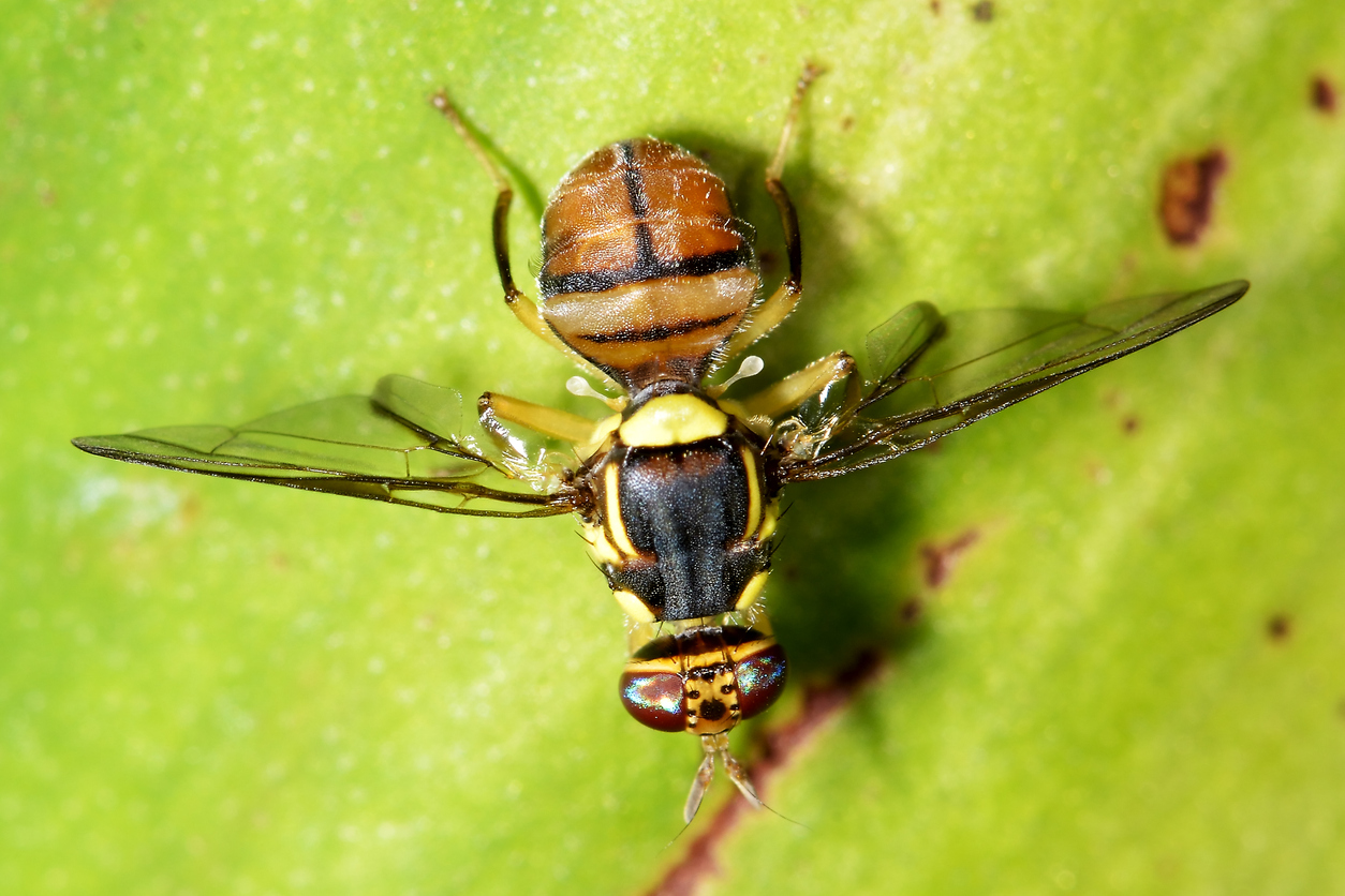 Fruit fly detections in Auckland – In the News