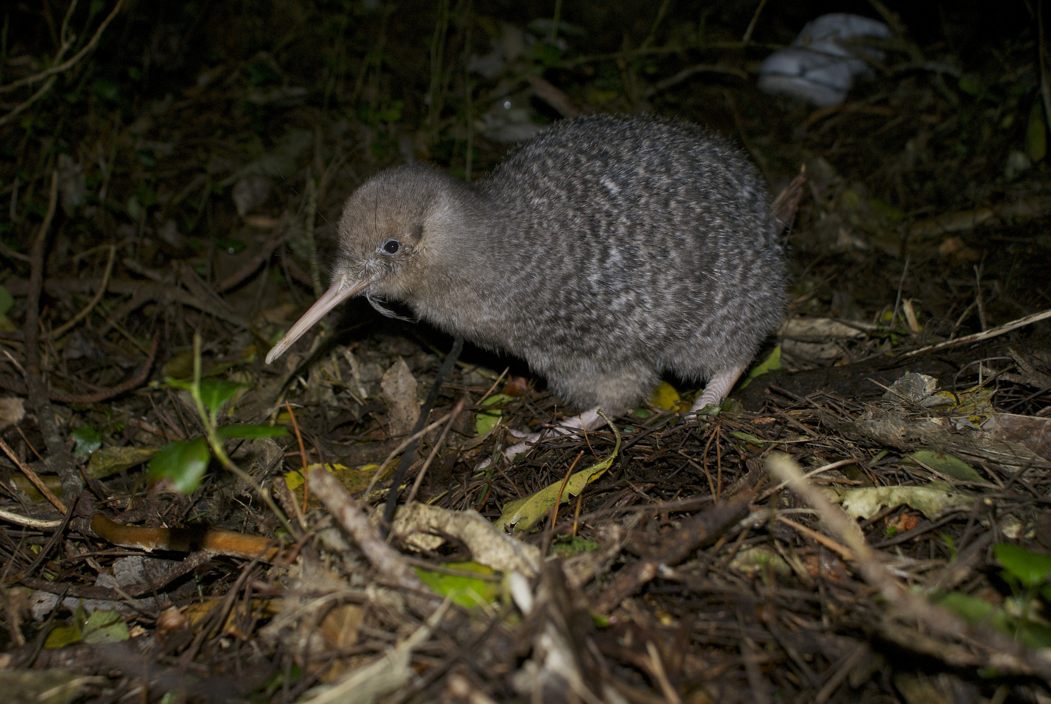 How NZ birds lost flight – Expert Reaction