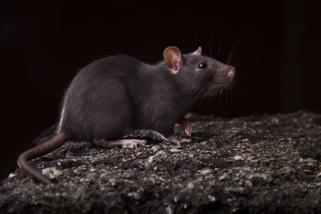 Rat toxicology reports – Expert Reaction